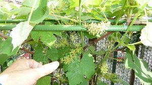レイシ(ライチ?)、アボガドが芽を出した 当地もだんだん暑くなってきております 日中は半そで 夜は厚着とまぁ風邪ひくなよぉと注意の日々です 体