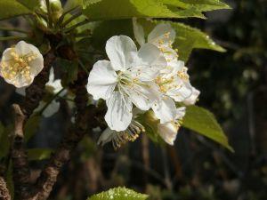 レイシ(ライチ?)、アボガドが芽を出した こちらも風が吹くと街路樹の桜の花が風に乗って舞い上がります、本当に数日の花見時期で・・明日どこかに花