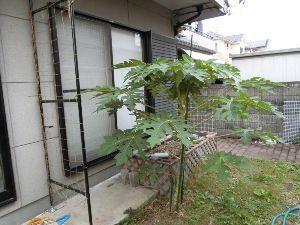 レイシ(ライチ?)、アボガドが芽を出した さすがに11月!!そうなんです~11月なんです、困っています、なんとか2階の部屋に南国物の鉢を持って