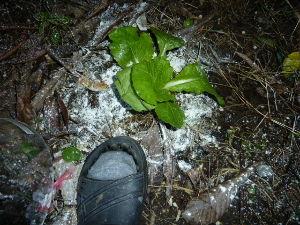 レイシ(ライチ?)、アボガドが芽を出した げぇ!心電図異常ですか!・・駄目ですよ~kameさん・・この2~3 日リミットのようで 寒くなる前に