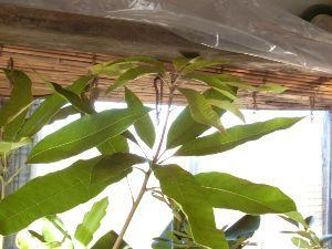 レイシ(ライチ?)、アボガドが芽を出した 年末のゴタゴタが(仕事ですが・・)やっと終わって、今日からのんびりできそうです、 黄色いキウイはツル