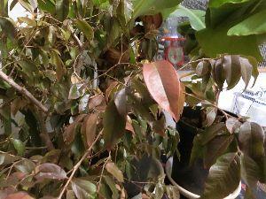 レイシ(ライチ?)、アボガドが芽を出した 去年も冬越しの為に部屋に熱帯物の鉢を部屋にしまいこんだのがこの時期でした、 来年はもっと早目になんと
