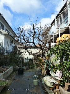 レイシ(ライチ?)、アボガドが芽を出した あら~ kameさん銀杏は思いっきり伐採しましたねぇ・・まぁ確かにこれの 生育性は大樹ですから年数で