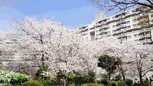 これから青春しよう・・PARTⅡ  こんにちはヽ(*´∀`)ノ   桜も各地で満開です、ライトアップされて夜