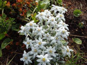 一緒に山登りしませんか カツカナさんは言いませんでしたが、本山小屋のおじさんが ここのお花は「いいでルヴァイス」と呼ぶのが正