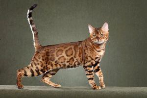 室内のみで飼う猫ちゃん 猫にも色んな種類があります。  アフリカワイルドCat (リビヤヤマネコ)夜行性
