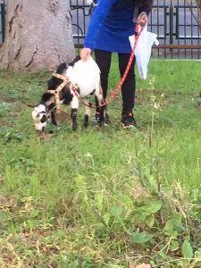 何でも話しませんか 写真の貼り付けを忘れていました。  ごめんなさい  写真は午前中、お散歩の途中であった山羊さんです。
