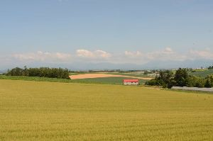 6630 - ヤーマン(株) 綺麗でしょう! 北海道 富良野 富田農場 です  下の写真は 北海道 美瑛の丘 の小麦畑です