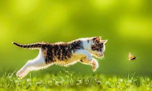 呆けとんのかな? Dissolving Cat Myths: Cats are Aloof and Independe