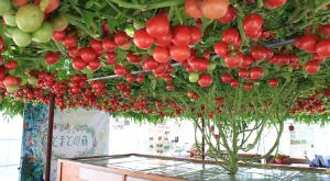 4978 - (株)リプロセル トマトの栽培は頑張ればこうなります。