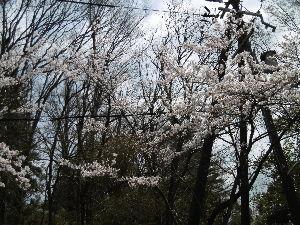 風に吹かれて 今日もいい天気 桜も5分咲き  のんびりと桜を見ながらワンと  散歩してきました。