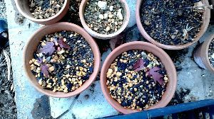 楽しく話しませんか?Ⅱ  ポムさん、お久しぶりです。  今年は、三、四本の銀杏が発芽した模様です。 なかなか発芽がみられない