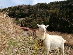 株恋です 山羊 のんびりと