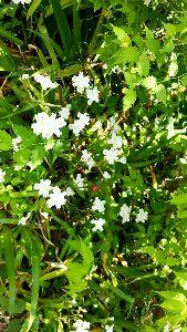 埼玉LIFE【新館】 シャゲ 林なんかの日陰にさく花です  埼玉の高層マンションや鋳物工場のある町では見れない