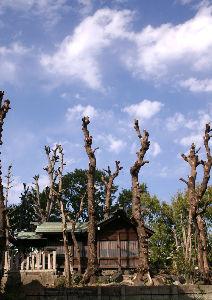 路上観察学 街中のとある神社の境内。樹木が枝打ちされて、 といっても、なんとまあ、丸坊主。 手入れが面倒だからど