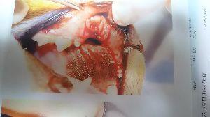 活力なべ使ってる方いませんか? しまちゃんのお口 手術の跡の写真です  今度行ったら、現時点での写真ももらってこようと思います