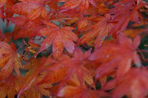 すみませんが、お邪魔します。 紅葉撮影はウチの庭で済ました あんまりキレイじゃないな