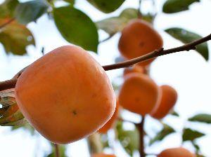 すみませんが、お邪魔します。 食べきれないので収穫してない八珍柿