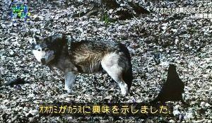 seibutsugakuhakaseの生物学何でも質問箱 即答 群から離れた一匹オオカミは、カラスとコンビを組んで獲物をとらえています。 カラスが獲物を見付け