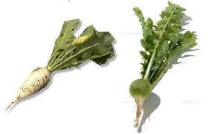 seibutsugakuhakaseの生物学何でも質問箱 即答 あえていうとすると、砂糖大根(画像左)と山葵大根(同右)がそれにあたるでしょうか。 ただ、砂糖