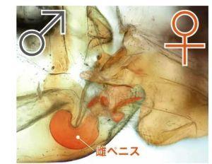 seibutsugakuhakaseの生物学何でも質問箱 即答 います。 チャタテムシの一種のトリカヘチャタテは♀がペニスのような交尾器を持っています。 その