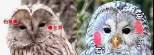 seibutsugakuhakaseの生物学何でも質問箱 質問! なぜフクロウの耳は左右対称の位置に付いていないのですか?