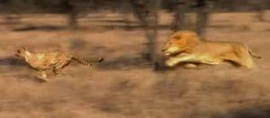 seibutsugakuhakaseの生物学何でも質問箱 質問! ライオンはチーターを見付け次第、追いかけ回して殺してしまいます。 これはなぜですか?