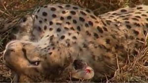 seibutsugakuhakaseの生物学何でも質問箱 即答  チーターの死体には食べられた跡はありませんから、ライオンはチーターを殺すだけで食べてはいませ
