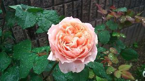 マジカルバナナ★★連想ゲーム★ バラと言えば、写真  この春にあまりきれいだったので、 パチリ♪ おはようございます♪ 勝ってながら