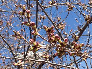 暇だなぁ… 今日は午前中、少しだけ雪が降りました(u_u)  でも、近所の桜はもう少しで咲きそうです!  まだま