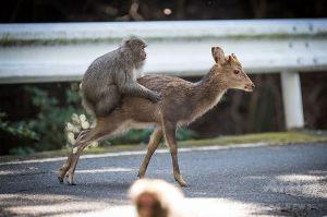 3932 - (株)アカツキ 去年の干支サルも正月からがんばとるぞ!  アカツキもドーカーンといけー!