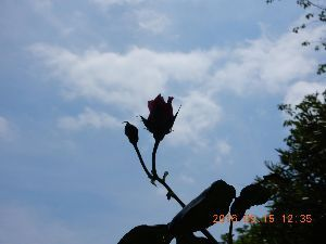 詩をどうぞ  「小さな薔薇」  薔薇が空とお話をしている 今日の天気のこと 明日の風のこと 逆光に埋もれた言葉を