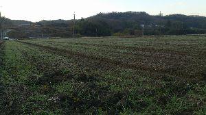 大麦について語りましょう 三木でスクスクと大麦が育っています。 昨年失敗していますので、今年こそ!!!  じじ