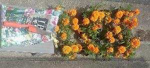 ●・見たい?見せたい? こんにちは  マリーゴールド、12  ポテ・サラ、1  植え替えました  わあ  (-.-)