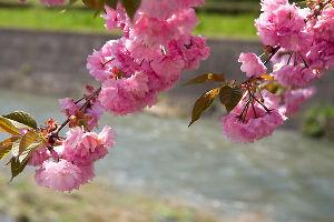 NHK大河ドラマ「八重の桜」 八重桜 大河に散りて 遥か海