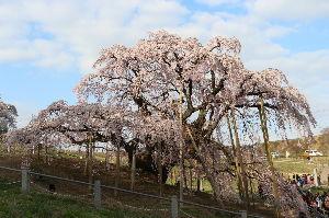 意味のない書き込み 福島県の 滝桜に 行ってきました。   人生で 初めて、  滝桜を 観ました。   写真、TV では