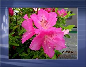 とうとうやってきました・・・・・ 晴れたり曇ったりの忙しい天気・・・  冷たい風も吹いたり止んだりの異常な天気・・・  庭の花は影響な