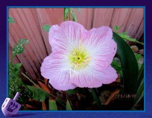 とうとうやってきました・・・・・ 午前中は曇り空でしたが午後から陽射しが・・・  爽やかな風が吹き抜け初夏の陽気に・・・  庭の花も何