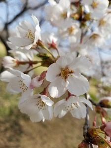 メル友募集 みなさんこんばんわ毎日暑いですね。桜もきれいに咲きましたね。😣💦⤵️👊😆🎵でも花粉🎄🌁😷飛んでいるね