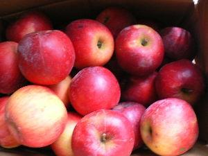 花が咲き、実が生ったら  先日、竹馬の友達から紅玉をダンボ-ル箱いっばい貰ったので、毎日1個づつ食べている。  昔、林檎は医