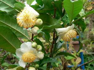 花が咲き、実が生ったら  今日は柔らかい秋の陽射しを受けて藪北茶の白い花が咲いている。   実が成っても食べられないが観賞用