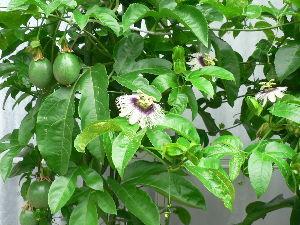 花が咲き、実が生ったら  今日は初冬のような寒さだったが、亜熱帯果樹のパッションフル-ツを大鉢植えし  南側の陽当りの良い箇