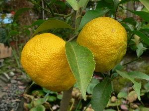 花が咲き、実が生ったら  鉢植の花柚に生っている果実が黄色に染まって来ました。   柚子風呂にすれば良いのかも知れないが、個