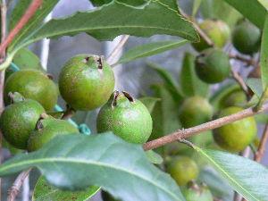 花が咲き、実が生ったら  熱帯果樹のグァバは枝もたわわに生っており、温室に入れているが寒さにより緑色のままで  熟す気配が感
