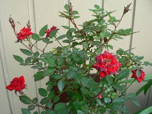 花が咲き、実が生ったら   今日は曇り空の天気で、外は暖かいが家の中は早春並の気温です。          りこさん こんに