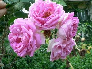 花が咲き、実が生ったら        こんばんわ りこさん。     我が家の写真貼付の薔薇は蔓薔薇ではないんだよ。
