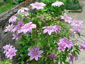 花が咲き、実が生ったら    またまた、忘いたのが、もう一種ありました。     自然交配種でなく、十数年前に通販で取り寄せ