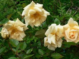 花が咲き、実が生ったら  今日は朝から快晴に恵まれて、暑い太陽の陽射しに焼かれながら、草むしりや茄子に肥料を  施したり、躑
