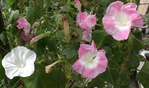 花が咲き、実が生ったら おはようございます。  今朝、なぜか 八重朝顔が ひとえに・・・それも 二つ並んで咲いていました。