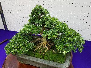 映画についてのひとりごと ショーシャンクさん、みなさん、こんばんは。  週末に地元公民館で開催された盆栽展に行ってきました。